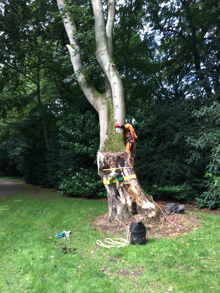 Storm damaged Maple removal.