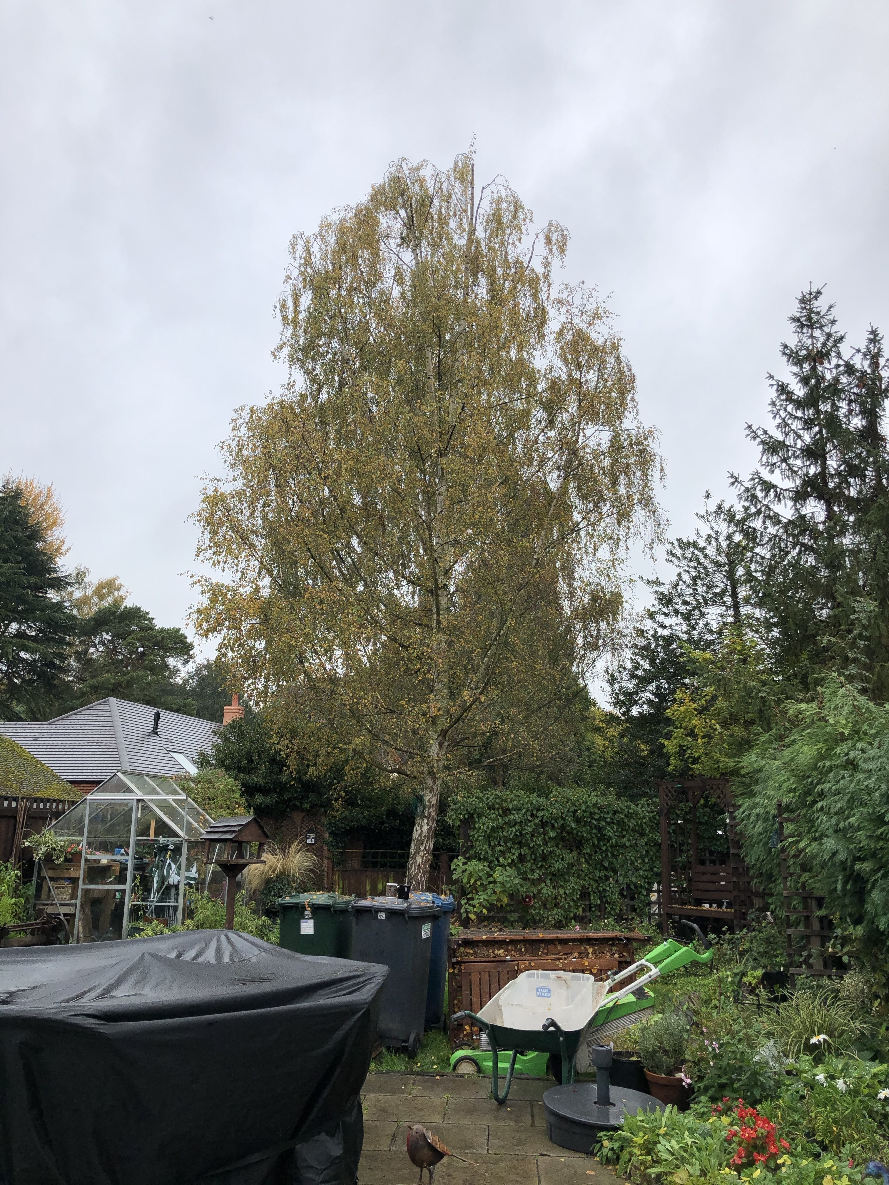 A nice Birch reduction for a client in a conservation area.