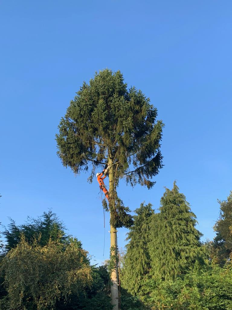 Spruce removal for light and size concerns.